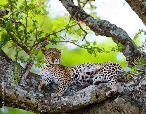 Poster Leopard Leopard is lying on a tree. National Park. Kenya. Tanzania. Maasai Mara. Serengeti. An excellent illustration.
