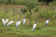 A Lot Wood Storks (Mycteria Americana)standing In Vegetation - M
