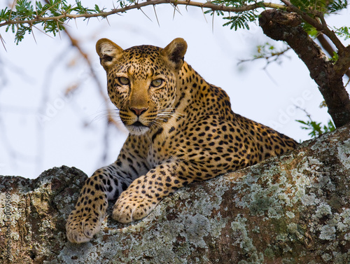 Leopard is lying on a tree. National Park. Kenya. Tanzania. Maasai Mara. Serengeti. An excellent illustration.
