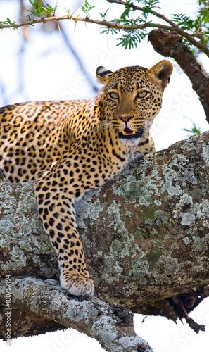 Staande foto Afrika Leopard is lying on a tree. National Park. Kenya. Tanzania. Maasai Mara. Serengeti. An excellent illustration.