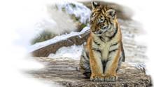 Cute Siberian Tiger Cub I(Panthera Tigris Altaica) Sitting