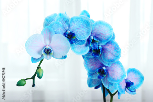 Fototapety, obrazy: Beautiful blue orchid flowers in the room, close up
