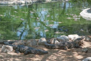Naklejka na ściany i meble Crocodile