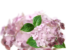 Pink Flower On A White Background. Hydrangea. Isolated