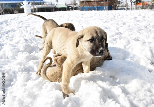 Photo sur Toile Vache Kangal Köpeği Yavrusu