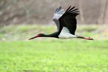 Black Stork In Natural Habitat  - Ciconia Nigra