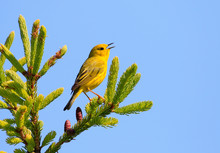 Male Yellow Warbler Singing On Top Of A Tree With Blue Sky Background