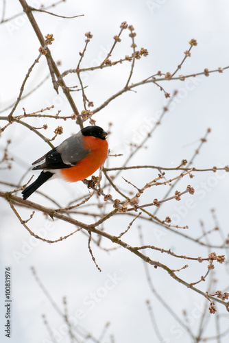 Bullfinch on a branch in winter forest Fototapete