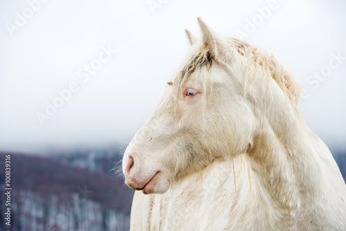 Fotografie, Obraz  Albino horse with eyes blue on the snow