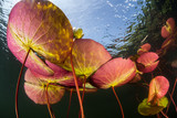 Colorful Lily Pads Underwater