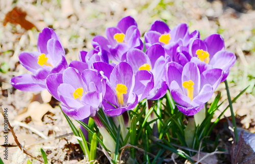 Foto op Plexiglas Krokussen Crocus flowers in the park