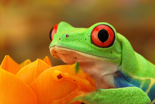 Portrait Of A Green Tree Frog ...