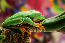 Green Tree Frog Is Sleeping Comfortably On The Leaves On A Bright Background