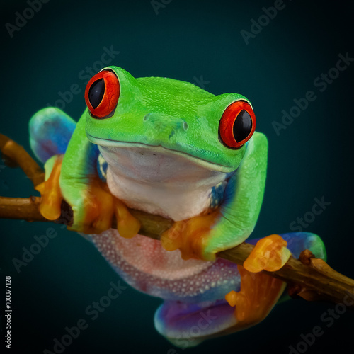 In de dag Kikker Green tree frog with orange legs and red eyes hanging on a branch on a dark background