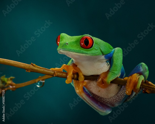 Tuinposter Kikker Green tree frog with orange legs and red eyes hanging on a branch on a dark background