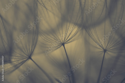 Fototapety, obrazy: Big dandelion seeds as srping background
