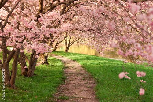 Photo  Blühende Kirschbäume am Wegesrand