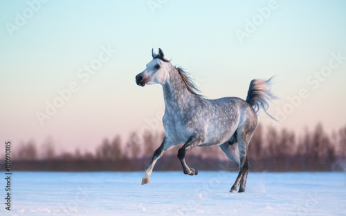 Papel de parede Grey Arabian stallion on winter snowfield at sunset