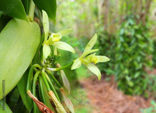 Fotografía  Closeup of The Vanilla flower on plantation