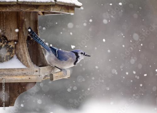 Valokuva Blue Jay at Bird Feeder Winter