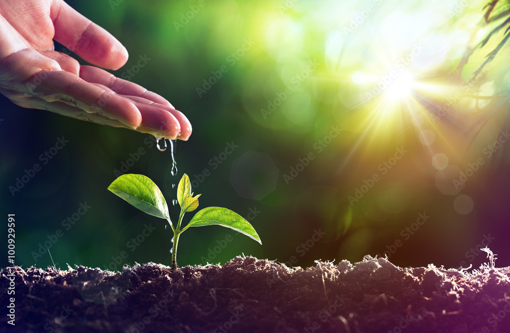 Fototapeta Care Of New Life - Watering Young Plant
