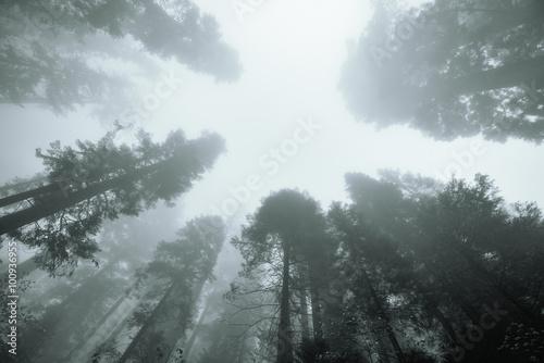 Fotobehang Wit Giant tree in fog