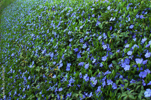 Fotografie, Obraz Periwinkle floral pattern