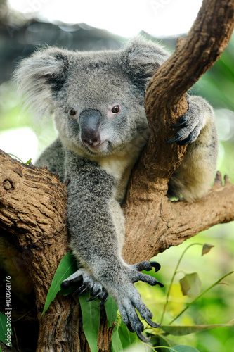Foto op Canvas Koala Cute Koala bear on tree