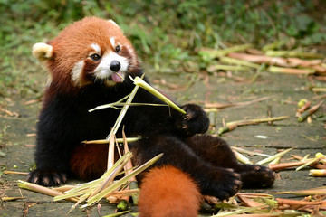 FototapetaRed panda bear eating bamboo Chengdu, China