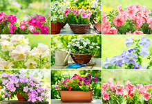 Collage Of Colorful Petunia Flowers