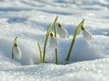 Snowdrops Flowering From The S...