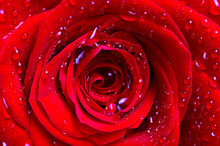 The Middle Of A Red Rose With Water Drops On Petals