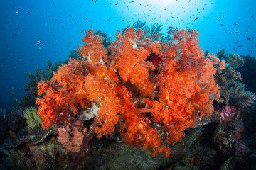 Brilliant Orange Soft Corals
