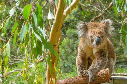 Staande foto Koala Australian Koala on a branch