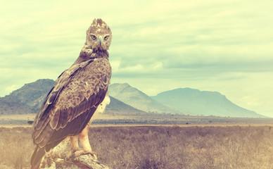 Fototapeta Wild african tawny eagle. Vintage effect