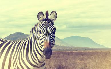 Panel Szklany Podświetlane Zebry Wild african zebra. Vintage effect