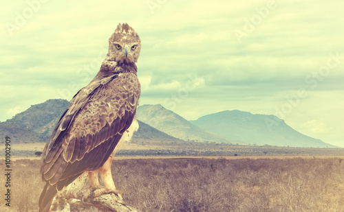 Wild african tawny eagle. Vintage effect - 101002909