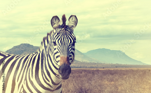 Poster Zebra Wild african zebra. Vintage effect