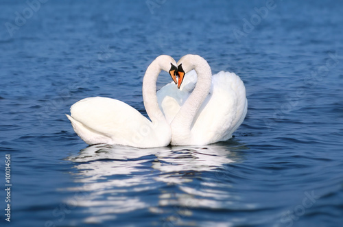 Poster Cygne Swan Fall in Love, Birds Couple Kiss, Two Animal Heart