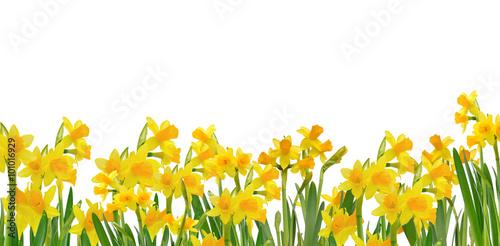 Deurstickers Narcis bordure de jonquilles sur fond blanc