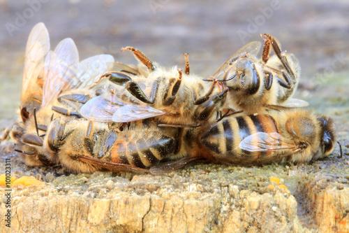 Fotografie, Obraz  Petit tas d'abeilles mortes