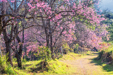Wild Himalayan Cherry Flower.