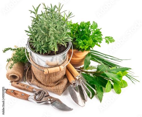 Fototapeta Fresh green herbs with garden tools obraz