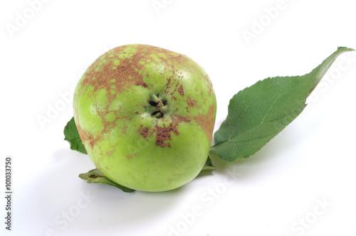 Fototapeta Powdery Mildew of Apple - Podosphaera leucotricha  obraz