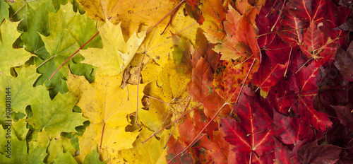 Poster de jardin Brique Gradient of Fall Colored Maple Leaves