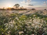 Fototapeta Kwiaty - Białe kwiaty na łące o zachodzie słońca
