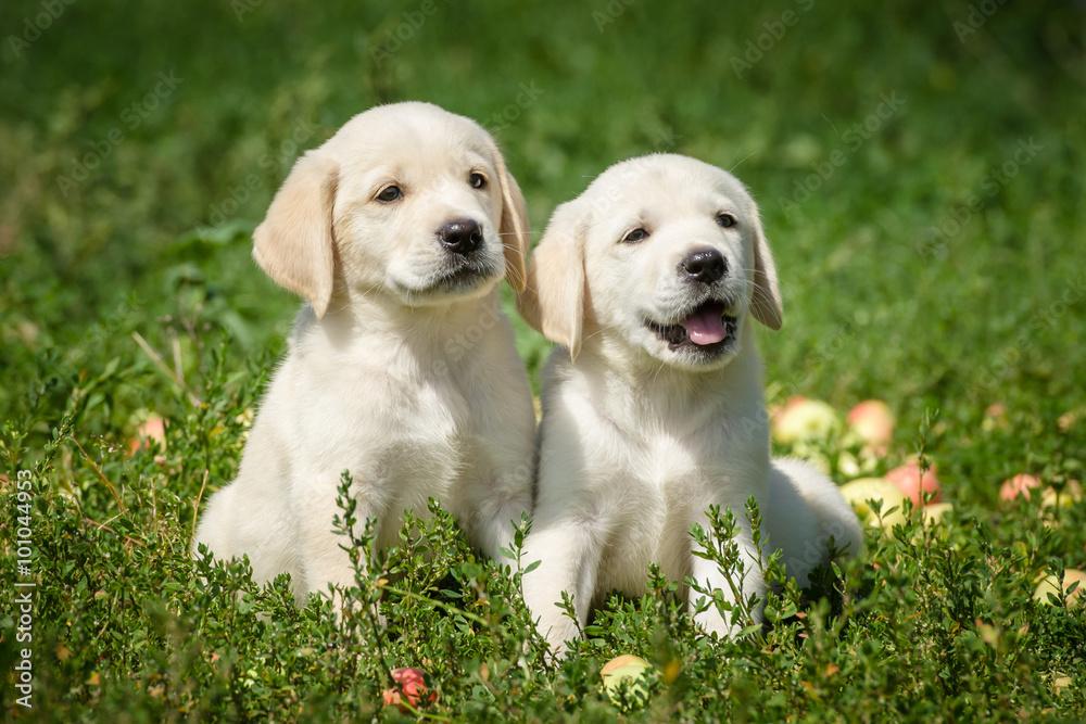 Fototapety, obrazy: маленькие щенки лабрадора ретривера сидят на газоне