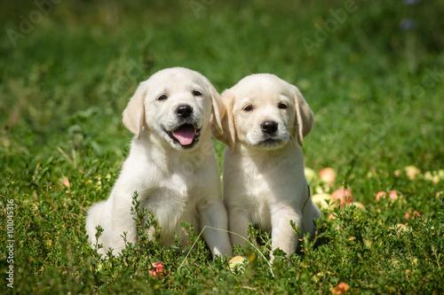 Fotografie, Obraz  маленькие щенки лабрадора ретривера сидят в траве