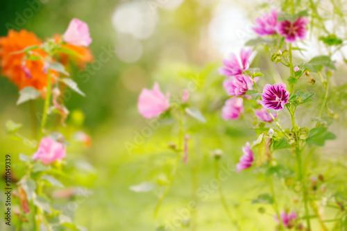 Plakat Rozmyty lato kwiatu tło z kwitnącym ślazem