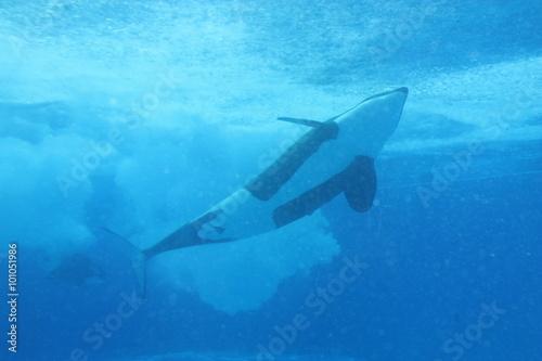 Fotografie, Obraz  Zabijácká velryba